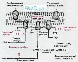 Адгезия - Азотиоприн